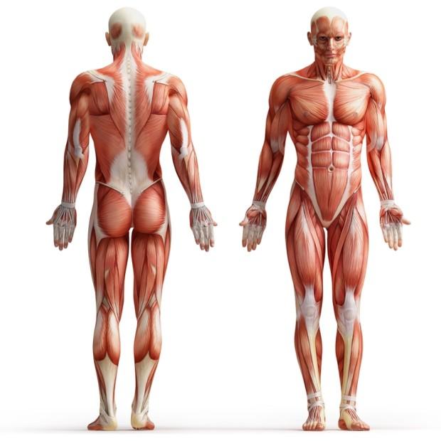 Человек из мышц