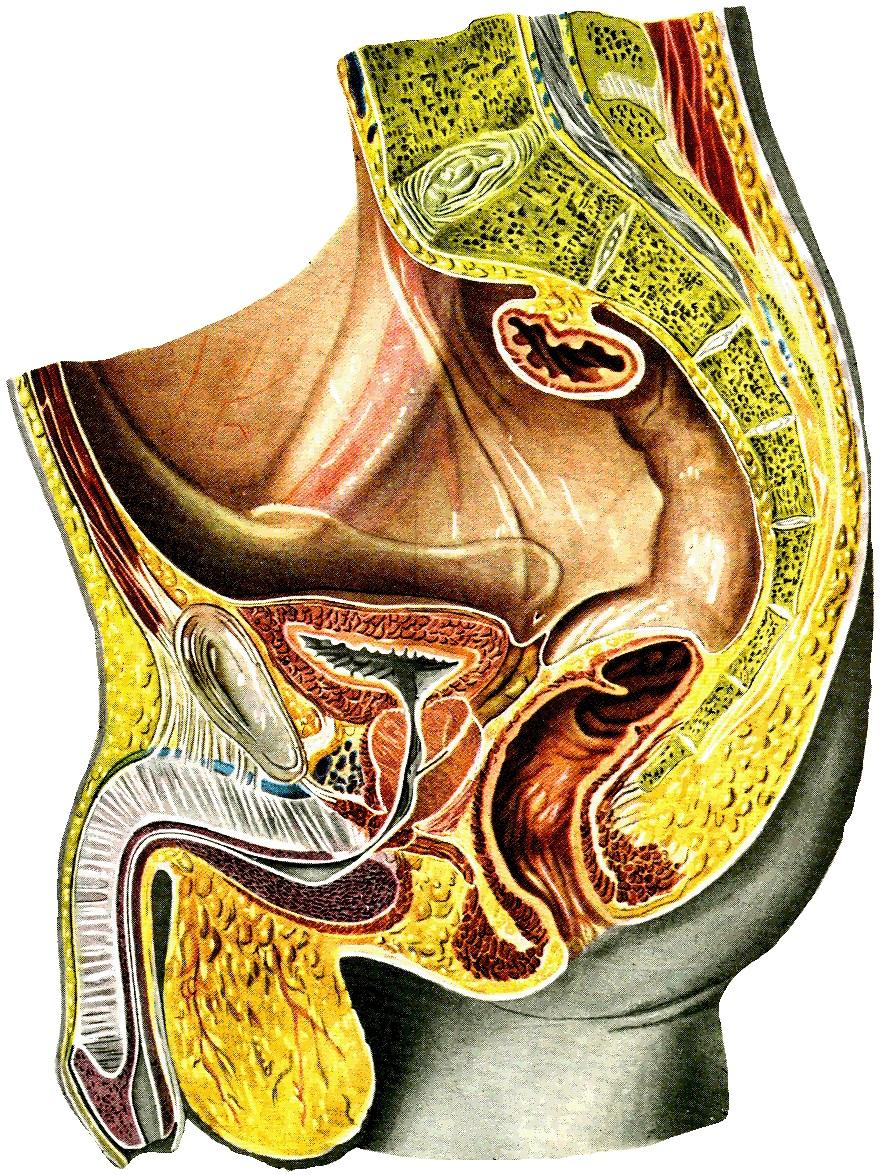 Мужские половые органы в разрезе