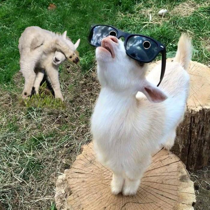 Козленок в солнечных очках