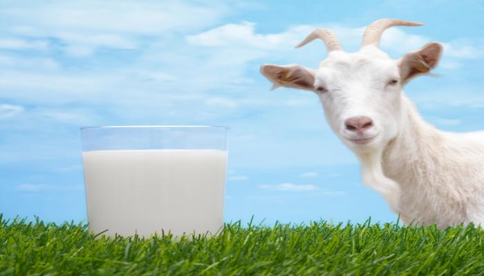 Козье молоко поднимает иммунитет
