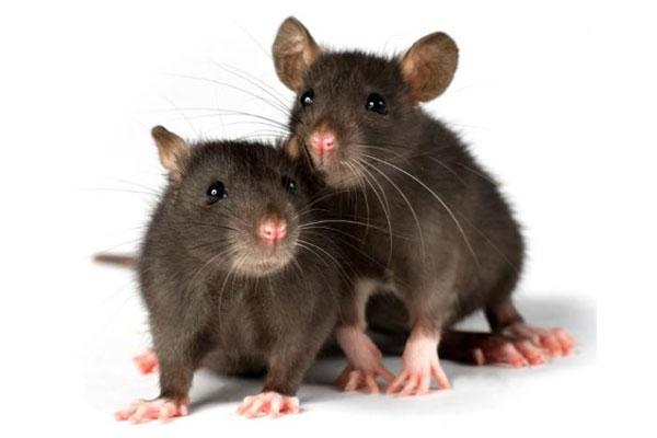 Две серые мыши